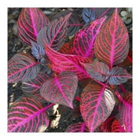 Растение ирезина описание