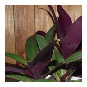 Комнатное растение Рео или Ладья Моисея