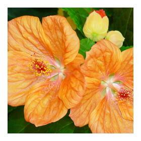 Абутилон цветок - лишь любви достоин он