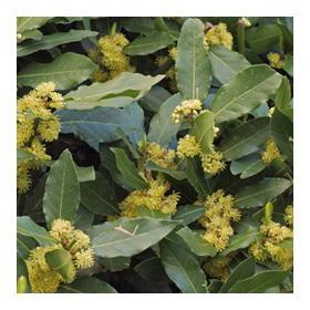 Лавр растение с блестящими кожистыми листьями