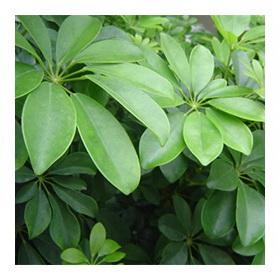 Растение шефлера