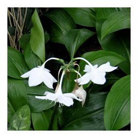 Эухарис красивое растение