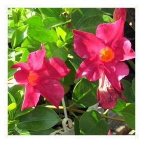 Дипладения красиво цветущая лиана
