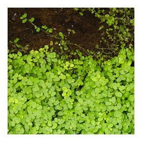 Гелксина зелёное растение